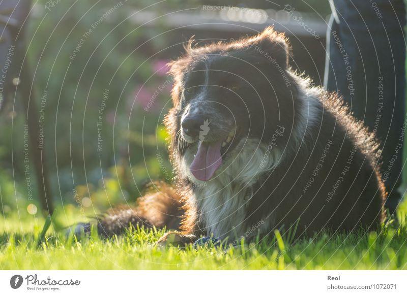 Sonnenbad Sommer Pflanze Gras Garten Wiese Haustier Hund Border Collie atmen Zunge liegen Hirtenhund 1 Tier leuchten schwarz weiß Kopf Fell Häusliches Leben