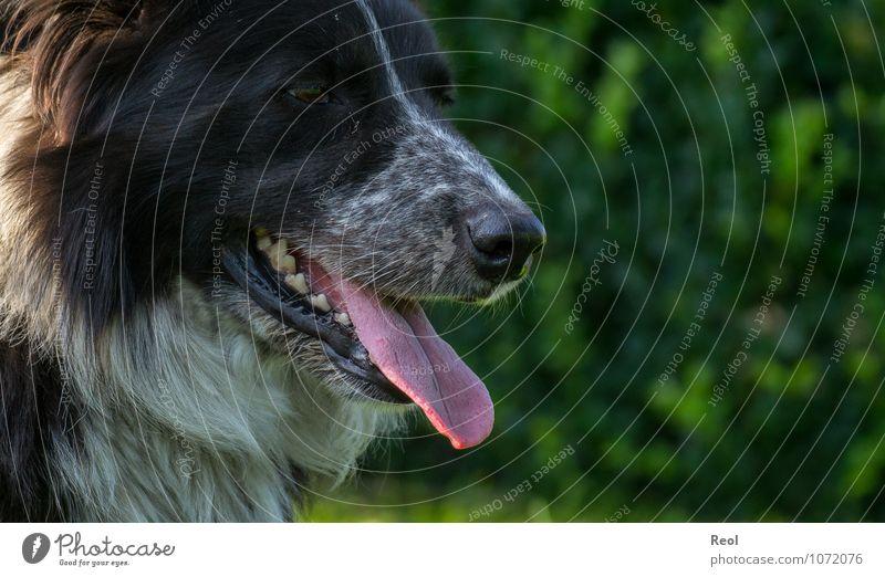 Entspannen Natur Haustier Nutztier Hund Border Collie Haushund Hirtenhund behüten 1 Tier Zunge Gebiss Scharfer Gegenstand Kopf Fell weiß schwarz Nase atmen