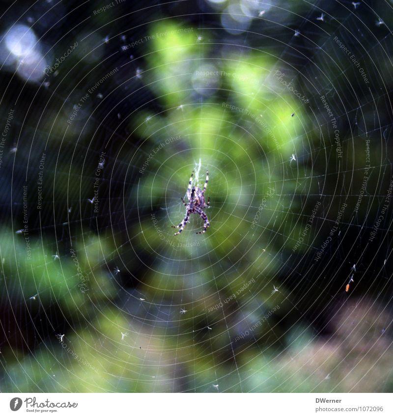 Netzwerk Seil Zoo Umwelt Natur Urelemente Schönes Wetter Pflanze Tier Spinne 1 Linie Fressen hängen bedrohlich gruselig hässlich grün Angst Spinnennetz