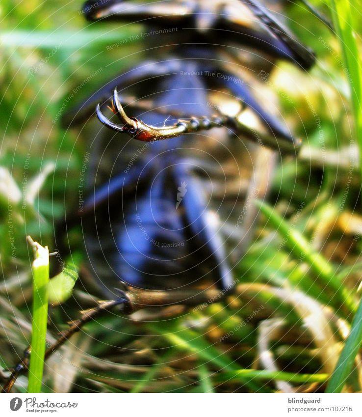 Karl der Käfer Hirschkäfer bedrohlich Horn Zange rot rotbraun Gras grün groß ungefährlich Insekt Reptil Umweltschutz Eiche Eichenwald Lebensraum Mandibel