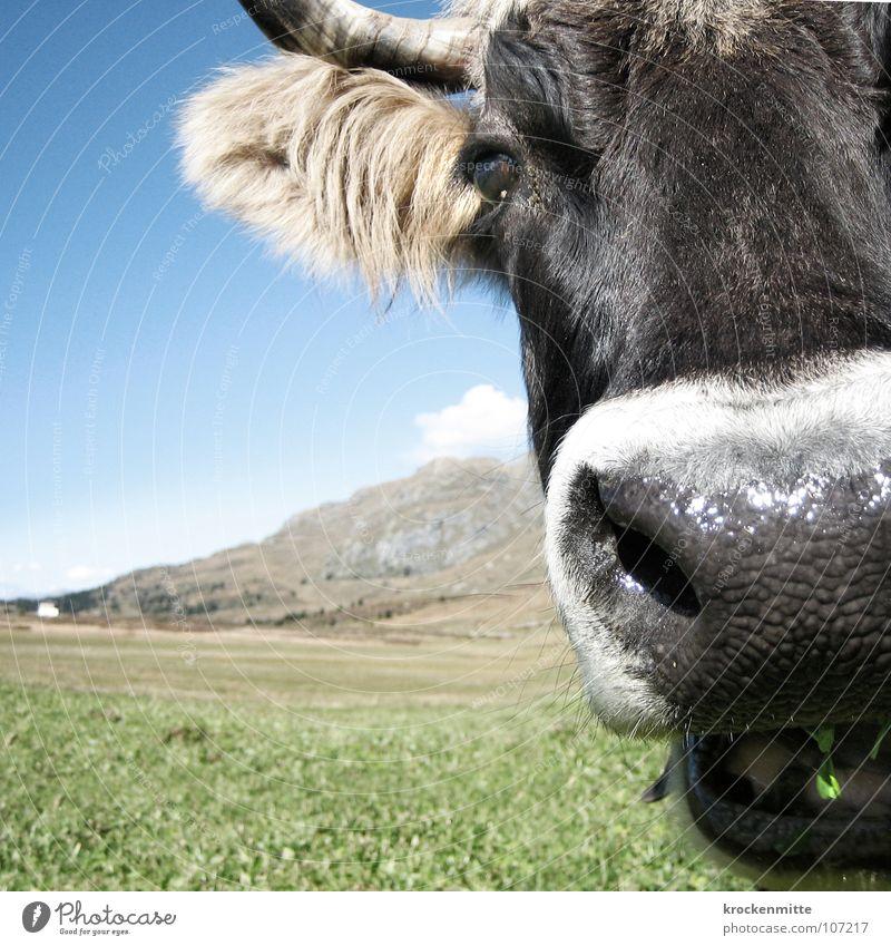 wiedergekaut Kuh Wiese grün Schweiz Rind Milchkuh Blumenwiese Sommer Gras Nahaufnahme Ernährung Fell Säugetier Weide Himmel Horn Berge u. Gebirge Alm