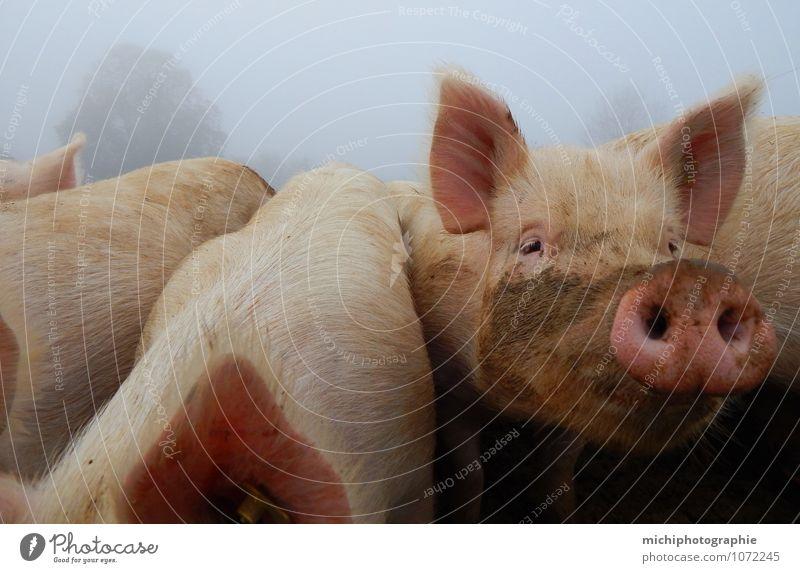 glückliche schweine Tier Nutztier Tiergesicht Fell 4 Tiergruppe Herde füttern Lächeln toben rosa Farbfoto Außenaufnahme Morgen Zentralperspektive Tierporträt