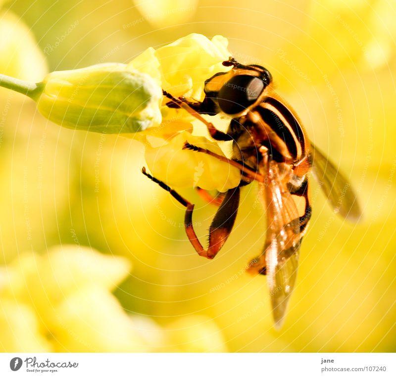 Ich will saugen grün Pflanze Sommer Blume Tier gelb Landschaft Wiese Frühling Blüte Fliege Insekt Sammlung Fressen Elefant Pollen
