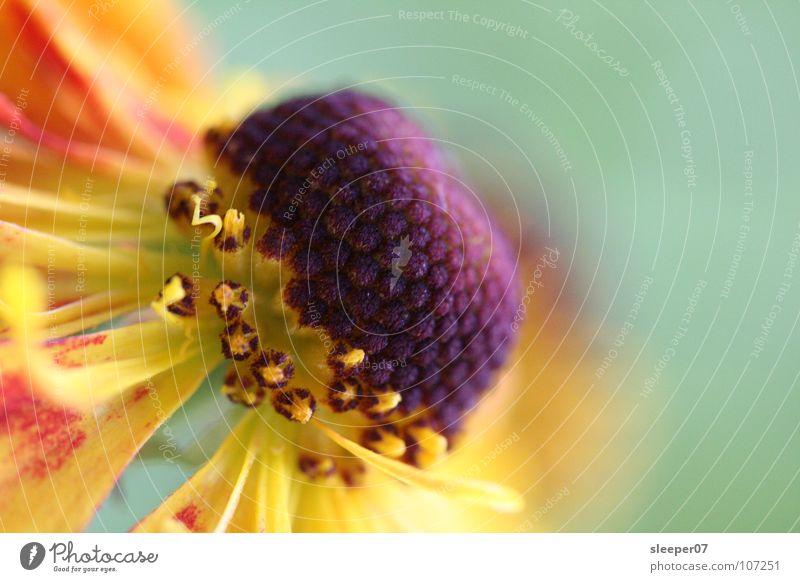 Blume? gelb Blüte nah violett