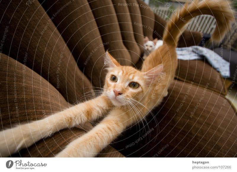 Katze streckt sich Katze Tier Vertrauen Sofa Verkehrswege Müdigkeit Wohnzimmer Langeweile Säugetier Raum