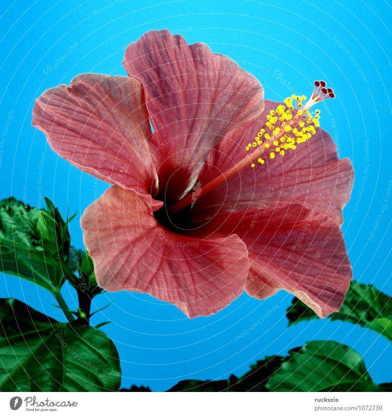 Hibiskus, Roseneibisch, Natur blau rot Blüte frei Medikament Stillleben Teepflanze Objektfotografie Heilpflanzen Topfpflanze neutral Hibiscus freilassen