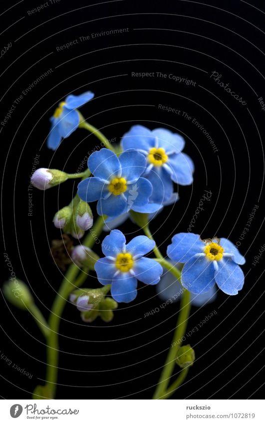 Sumpfvergissmeinnicht, Myosotis palustris Wasser Blatt Moor Teich See frei blau schwarz blaue Bluete Vergißmeinnicht Gartenteichgewaechs Ufergewaechs