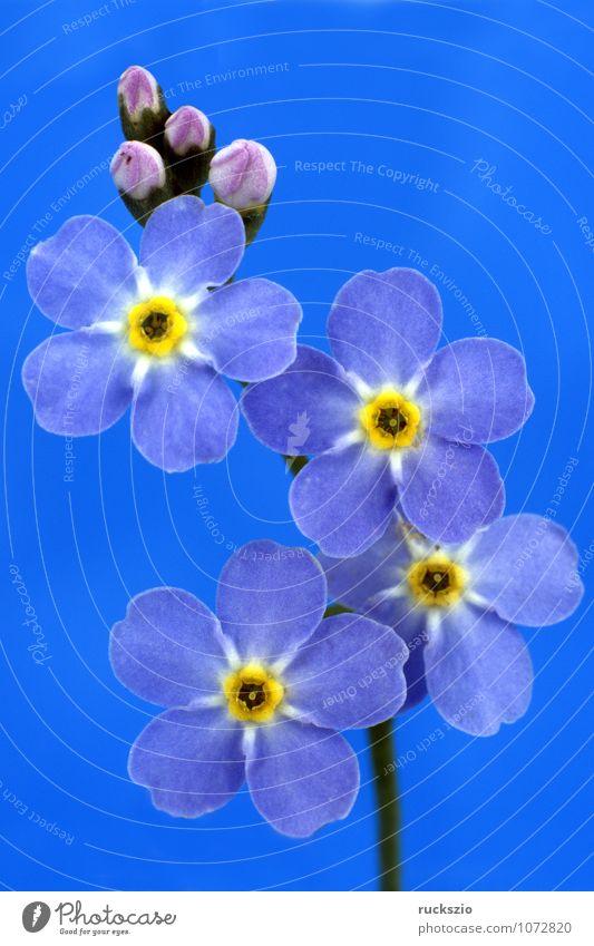 Sumpfvergissmeinnicht; Myosotis palustris Natur Wasser Blatt Moor Teich See frei blau schwarz weiß blaue Bluete Vergißmeinnicht Wasserpflanze