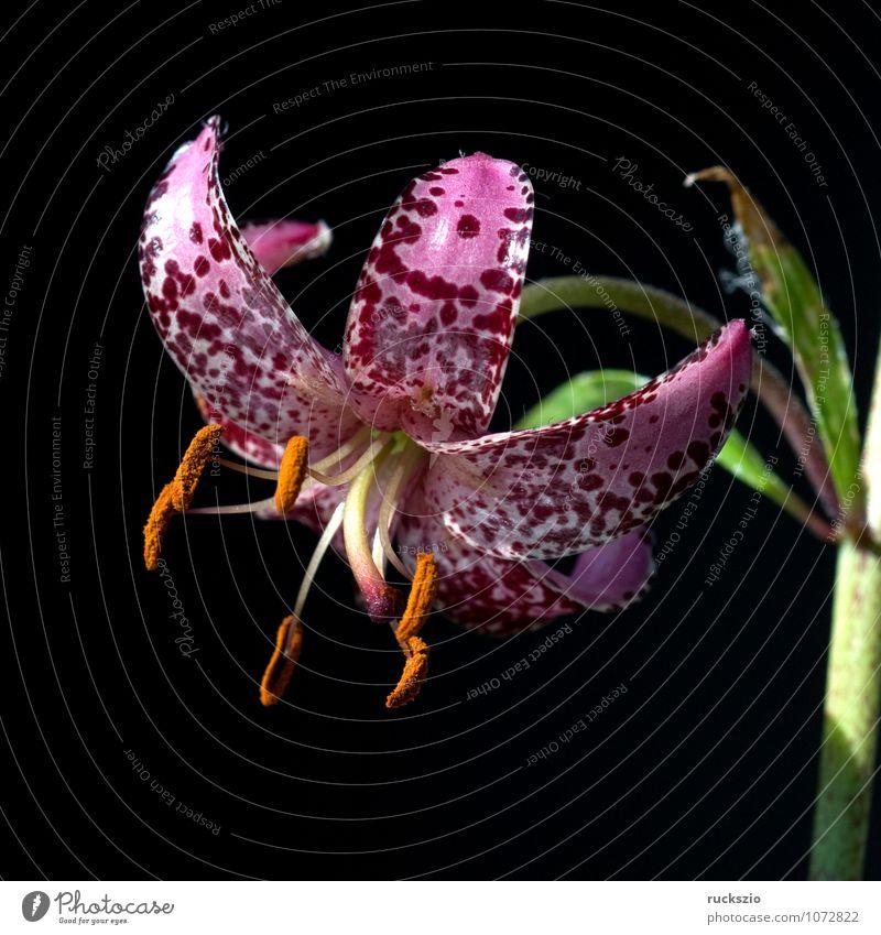 Tuerkenbund; Lilium martagon, Natur Pflanze weiß Blume schwarz frei Stillleben Schlag Objektfotografie Lilien Wildpflanze Wiesenblume neutral Türkenbund