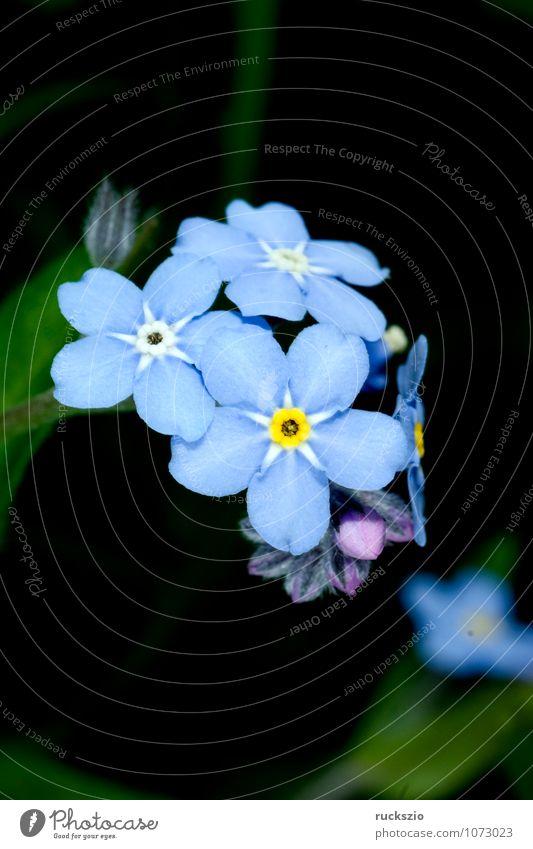 Sumpfvergissmeinnicht, Myosotis palustris Natur blau Pflanze Sommer Blume schwarz Blüte frei Blühend planen Botanik Objektfotografie neutral Vergißmeinnicht Sommerblumen freilassen