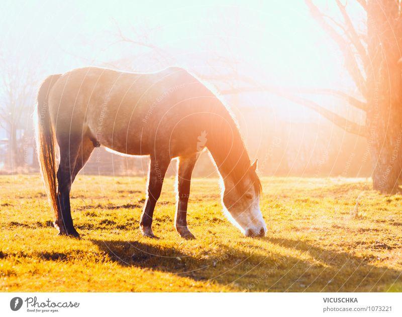 Grasendes Pferd in Abensonne Natur Ferien & Urlaub & Reisen Sommer Tier Herbst Wiese Frühling Lifestyle Freizeit & Hobby Feld Kraft Schönes Wetter Pferd Fressen Ponys Nutztier