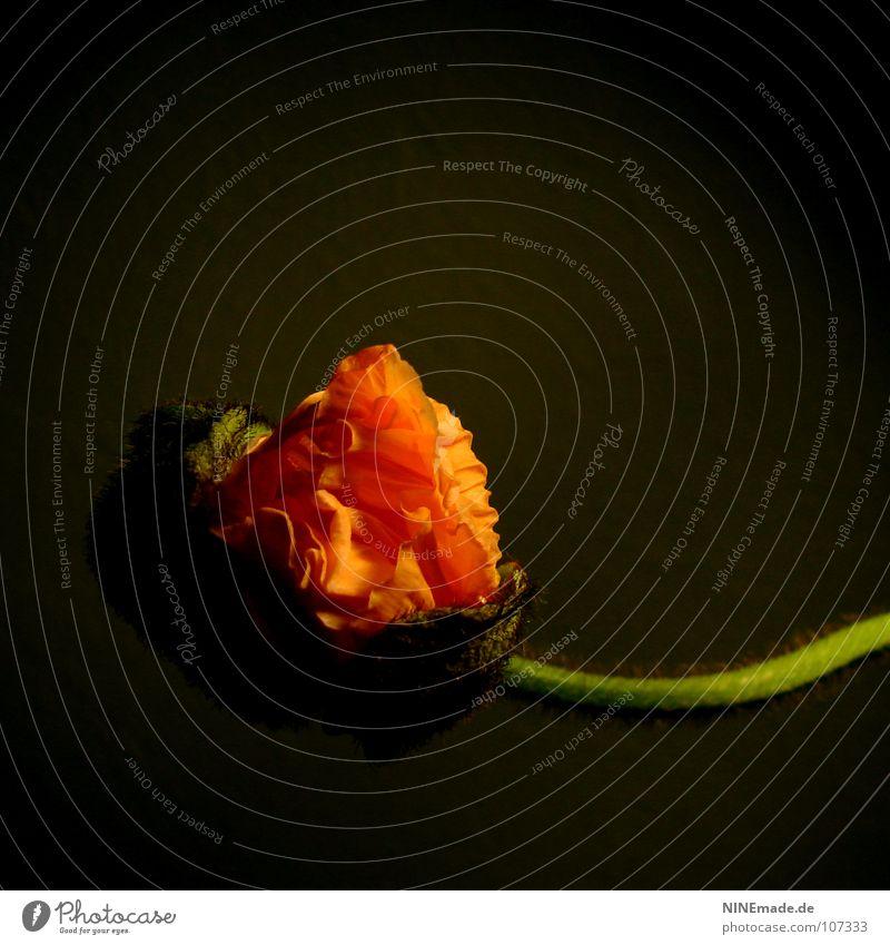poppy V Mohn Mohnblüte grün braun rot erleuchten aufmachen Blumenladen zart Schlitz Blütenstiel Quadrat rund Oval Geborgenheit Sicherheit biegen Makroaufnahme