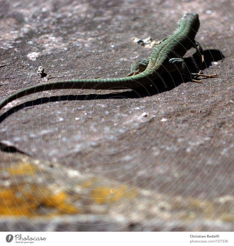 Echse grün Tier Mauer Angst Flucht exotisch Panik Schwanz Reptil Krallen Echsen
