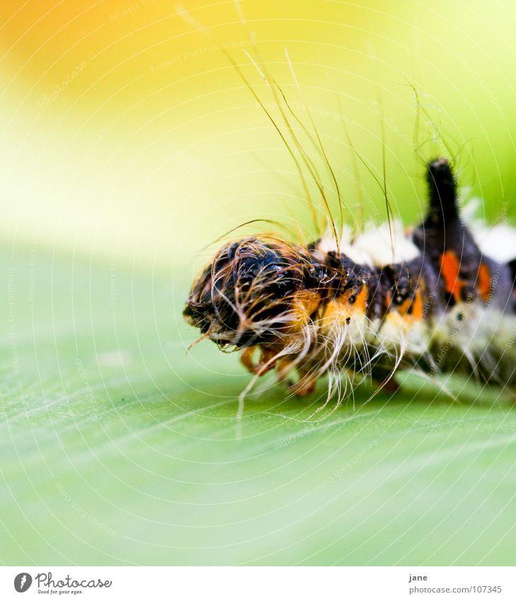 Ich wär so gern ein farbenprächtiger Schmetterling Fühler gestreift Insekt krabbeln Reptil Makroaufnahme Raupe mehrfarbig Nahaufnahme grün Eulenfalter
