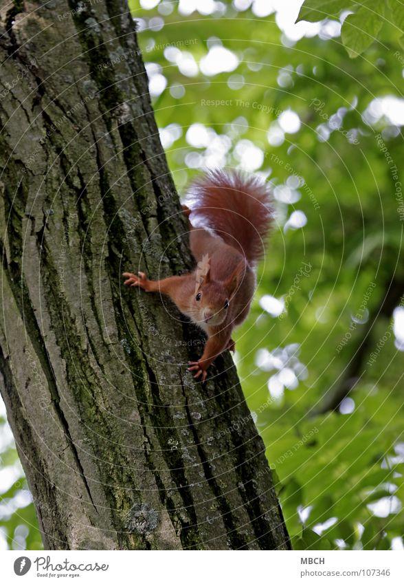 Was bist du denn für einer? Baum rot Tier Geschwindigkeit gefährlich Klettern festhalten Wildtier niedlich Baumstamm Säugetier beweglich Schwanz Krallen Eichhörnchen Nagetiere