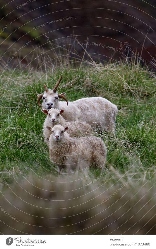 Iceland - three sheep Natur Tier Sommer Wiese Nutztier Schaf 3 Tierfamilie Blick stehen braun grün Freundschaft Zusammensein Überraschung