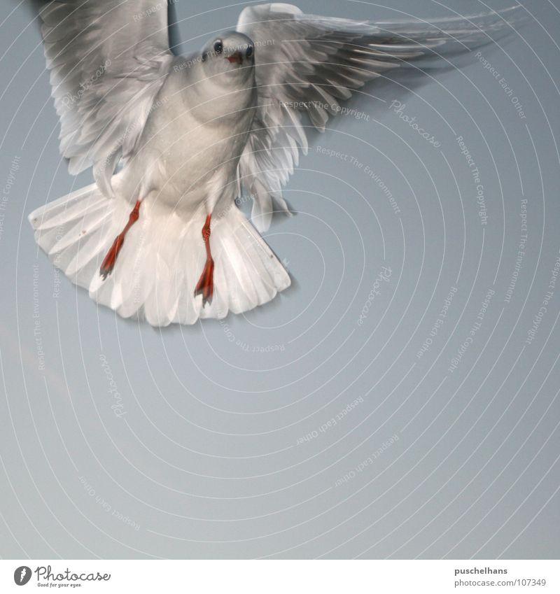 Birdy Möwe Vogel Luft leicht stoppen Leichtigkeit Schweben Blick frontal begegnen Schrecken Überraschung Luftverkehr schön Freiheit Himmel Schwehrelos Flügel