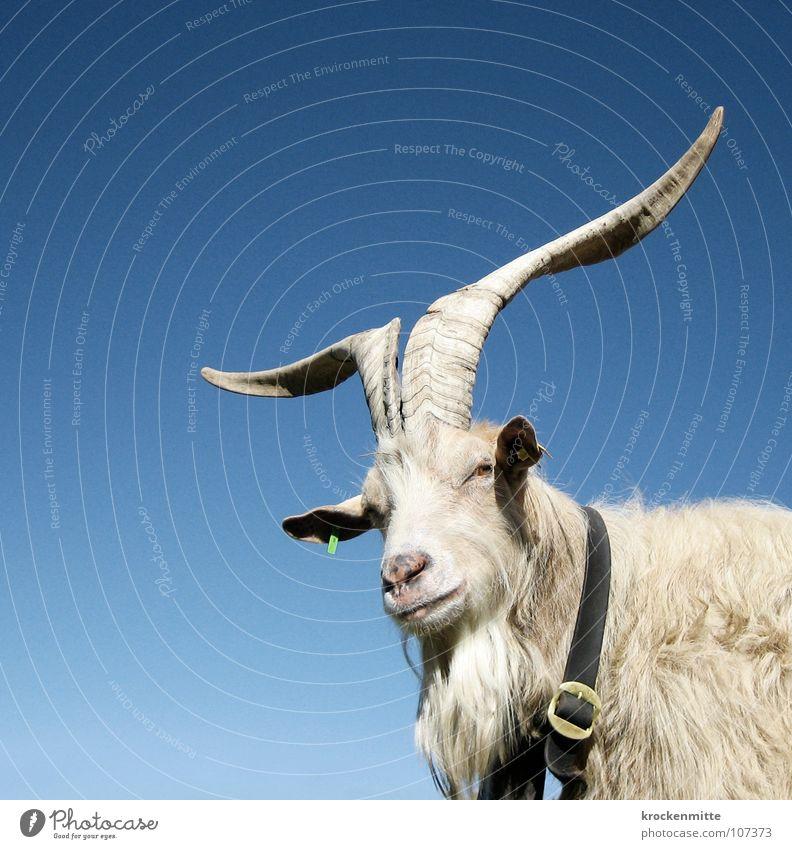 Gehörnter Geißbock Tier Halsband Bauernhof Schweiz Schnalle Kanton Graubünden Alp Flix Fell Bart Säugetier Horn Natur Alm gehörnt Blick