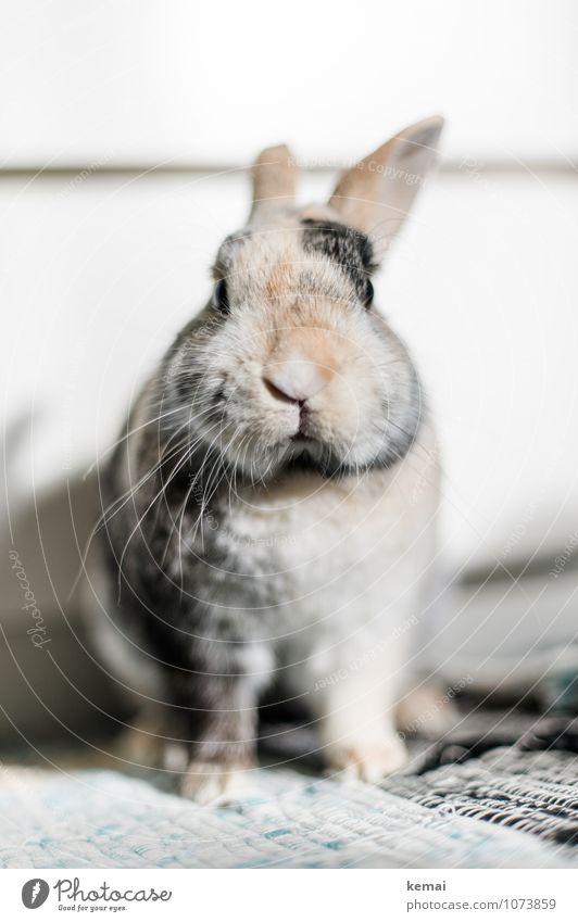 Mein Name ist H. Ostern Tier Haustier Tiergesicht Fell Pfote Zwergkaninchen Hase & Kaninchen Hasenohren 1 Blick sitzen Coolness dick schön lustig niedlich