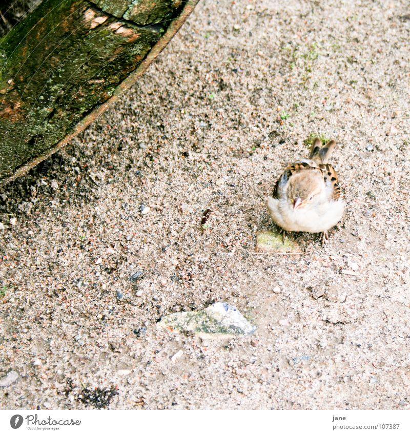 Ich will Steine hüpfen spielen grün Spielen grau braun Vogel süß niedlich Spatz Haussperling Sperlingsvögel
