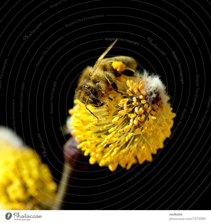 Weidenkaetzchen; Biene; Pollenhoeschen; Apis; Natur Pflanze Tier Frühling Baum Blüte Wildpflanze Park Wald Haustier Blühend springen frei gelb schwarz weiß