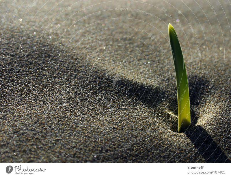 Sandwuchs grün Pflanze Strand ruhig Sand Stimmung Erde Wachstum Mut brechen Lichtspiel Schattenspiel Keim Jungpflanze verdunkeln fruchtbar
