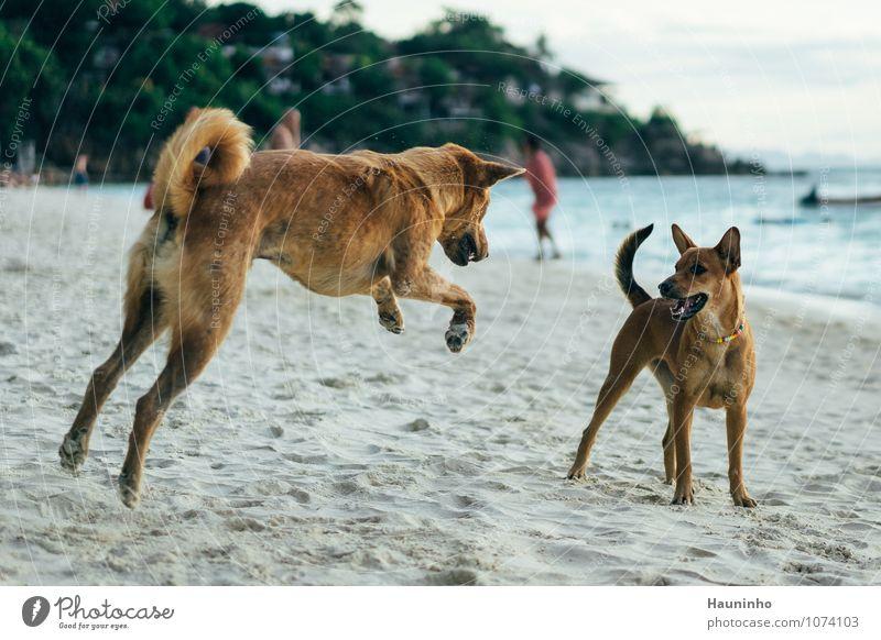 spielende Hunde Ferien & Urlaub & Reisen Wasser Sommer Baum Meer Tier Strand gelb Wärme Bewegung lustig Spielen braun Sand springen