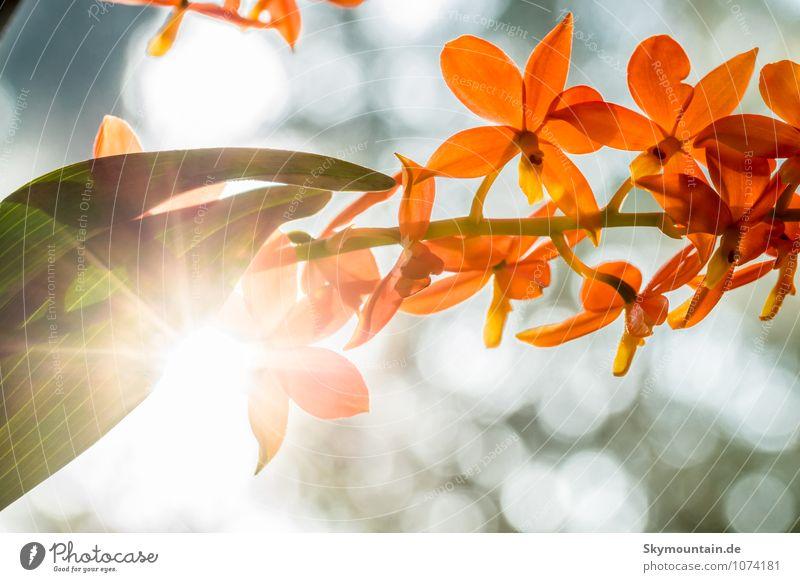 Encyclia vitellina Orchidee gegen die Sonne Lifestyle Umwelt Natur Pflanze Frühling Sommer Herbst Winter Wetter Schönes Wetter Blume Blatt Blüte Wildpflanze
