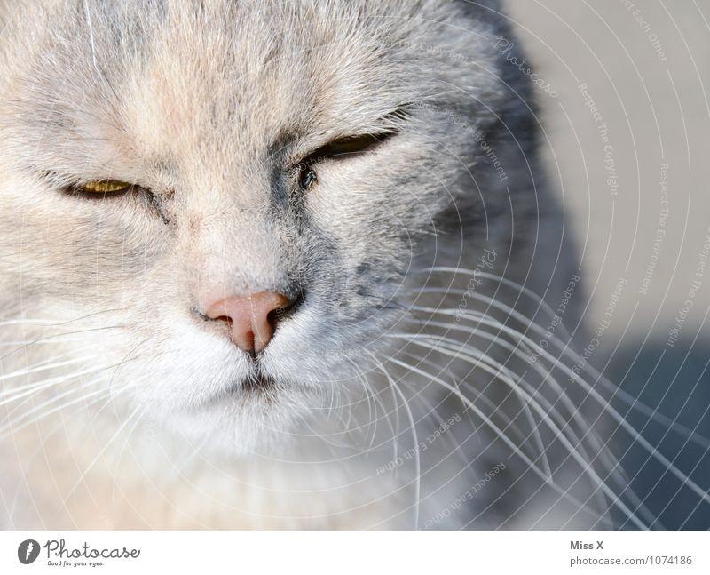 Das Glück ist... eine Katze Haustier Tiergesicht Fell 1 niedlich weich grau Gefühle Stimmung Zufriedenheit Warmherzigkeit Gelassenheit Schnurrhaar Schnurren