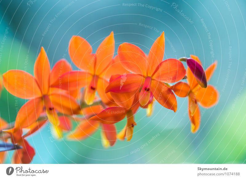Encyclia vitellina Orchidee Natur Pflanze schön Sommer Erholung ruhig Freude Umwelt Leben Blüte Frühling Stil Glück lachen Garten Lifestyle