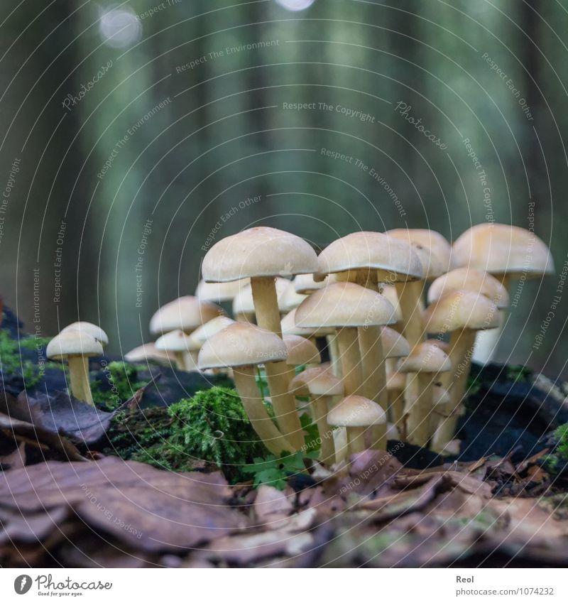 Pilze Natur Pflanze Urelemente Erde Herbst Moos Blatt Wildpflanze mehrere Waldboden Makroaufnahme dunkel wild weiß Farbfoto Gedeckte Farben Außenaufnahme