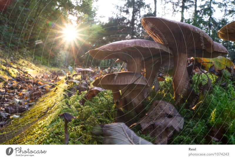 Pilze im Sonnenuntergang Natur Pflanze Urelemente Erde Sonnenaufgang Sonnenlicht Herbst Gras Moos Grünpflanze Wildpflanze Pilzhut Blatt Wiese Wald Waldboden