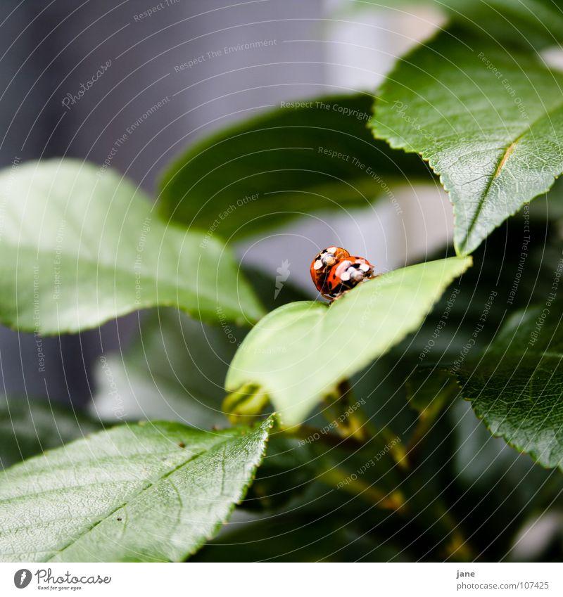 Frühlingsgefühle II Marienkäfer Sommer rot schwarz grün Tier Trieb halbkugeliger flugfähiger Käfer Punkt