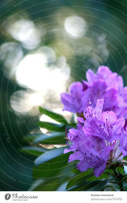 Glitzersilberblumme Blume grün Sommer Freude glänzend violett