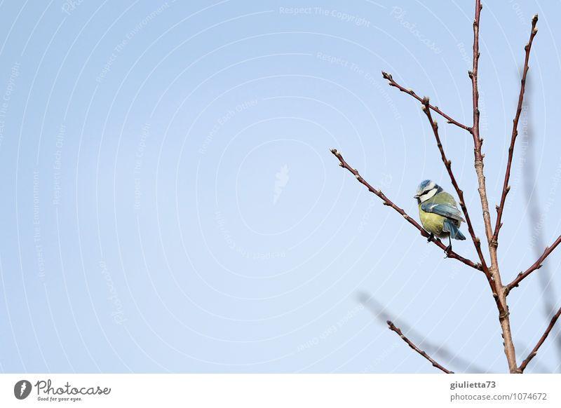 Himmelblau und Sonnengelb Himmel Natur blau schön Baum Tier Umwelt gelb Frühling Glück klein Garten Vogel Wildtier frei beobachten