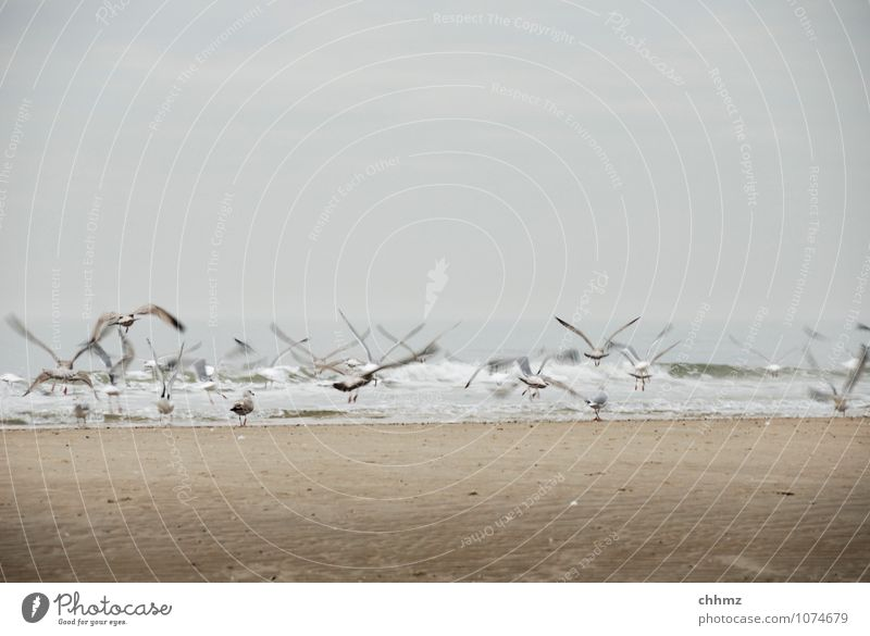 Abflug Tier Wildtier Vogel Möwe Tiergruppe Schwarm fliegen braun Angst Strand Meer Insel Schwache Tiefenschärfe Wellengang Abheben flüchten Schweben Sand