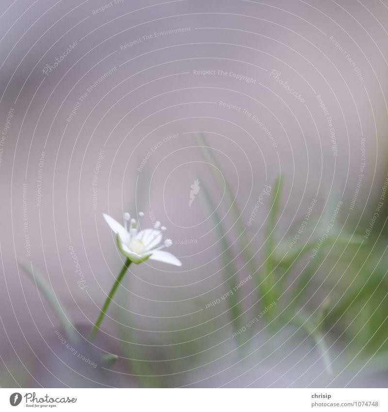 weißes Blümchen Natur - ein lizenzfreies Stock Foto von Photocase