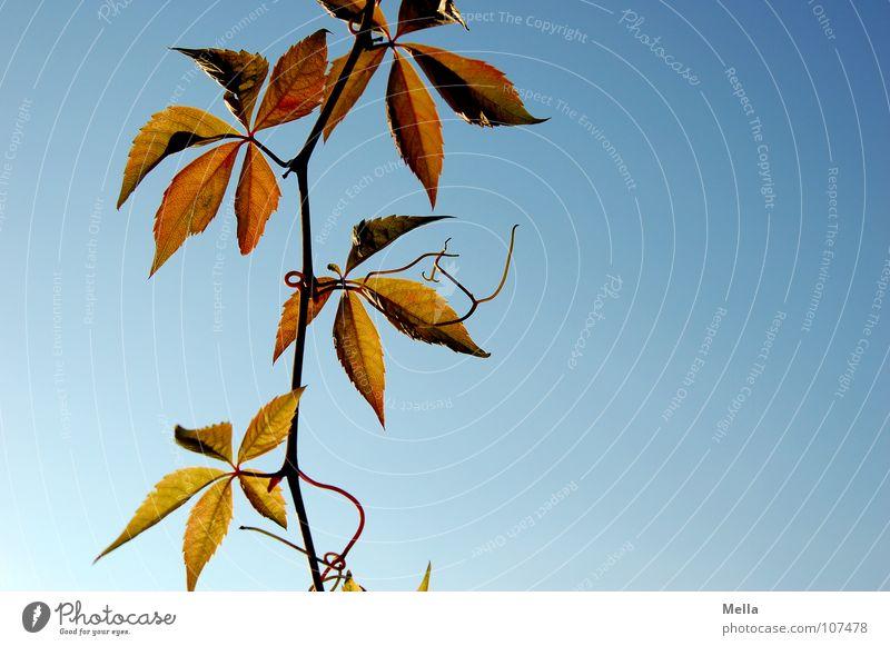 Hänger Weinblatt Weinranken Blatt Ranke grün rot Herbst hängen unten Vergänglichkeit Gehänge Himmel blau herbstlich abwärts freischwebend