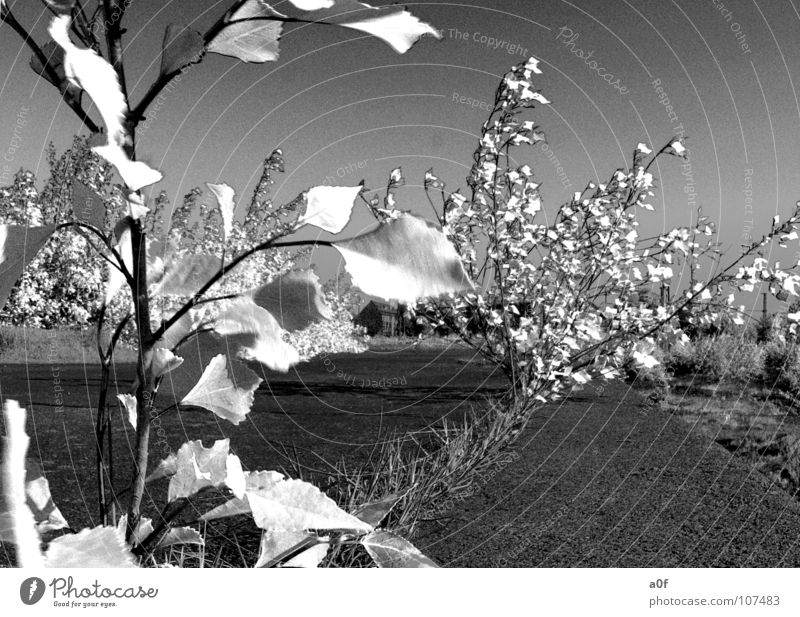 wite leaves Baum Blatt falsch Bildbearbeitung Infrarotaufnahme