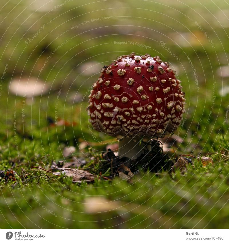 Glüxpilz grün Freude Blatt Herbst Glück Wachstum stehen Bodenbelag Symbole & Metaphern Hut Rauschmittel Pilz Gift herbstlich Waldboden Flocke