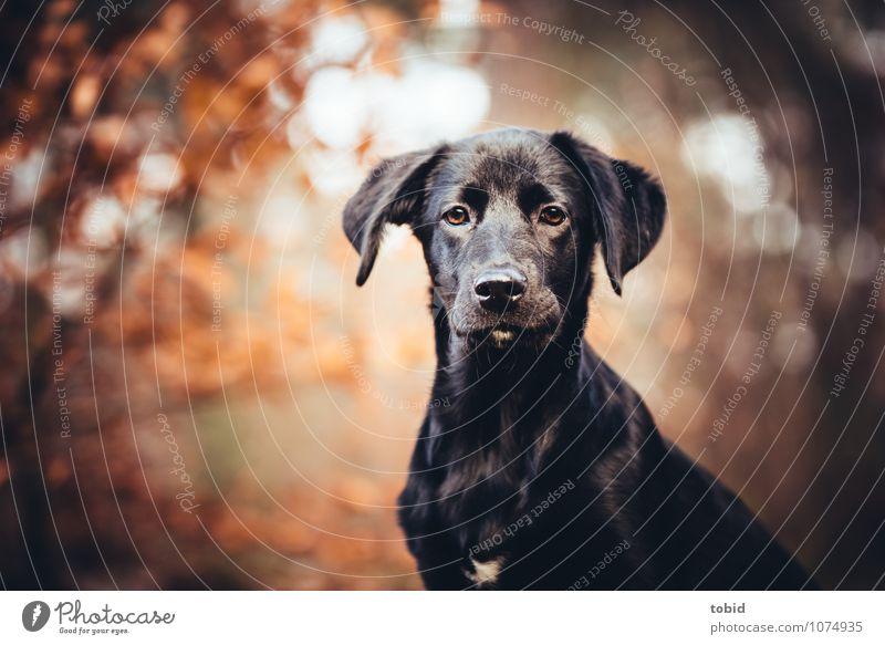 Amy Pt.3 Natur Landschaft Pflanze Herbst Schönes Wetter Baum Wald Haustier Hund Tiergesicht Fell Labrador Ohr 1 beobachten Blick sitzen warten kuschlig schwarz