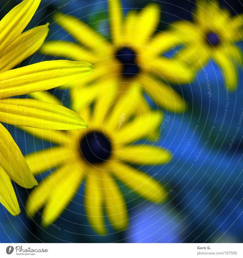 Ecke ab knallig mehrfarbig zweifarbig gelb blau-gelb Blume Blüte Pflanze Blumenstrauß Valentinstag Gruß Blütenblatt Tiefenschärfe Freude Farbe Sonnenhut