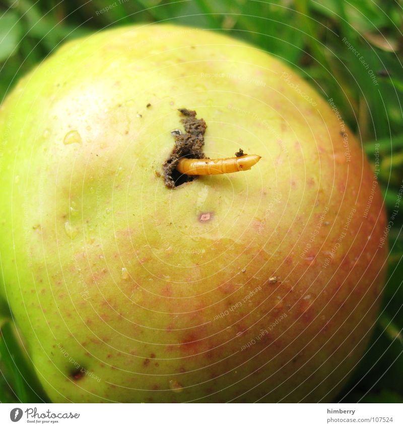 der wurm drin Wurm Schädlinge Schiffsbug Wurmloch Apfelernte Landwirtschaft Gras Frucht Makroaufnahme Nahaufnahme verdorben Garten garden fruits worm bugs Loch