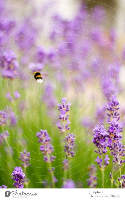 Von Bienchen und Blümchen Natur grün schön weiß Sommer Blume Tier Umwelt Glück Blüte hell fliegen Fröhlichkeit violett Insekt Tiefenschärfe