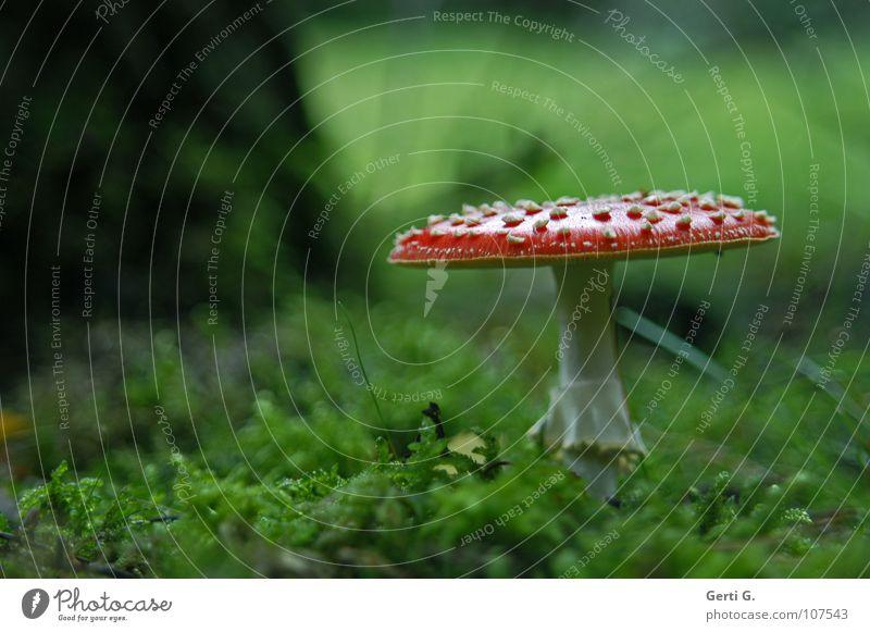 °GlüxPilz° Fliegenpilz Wald Waldboden Herbst Gift Flocke Rauschmittel Symbole & Metaphern Wachstum grün Blatt Baum Baumstamm flach Versteck Halm gefährlich
