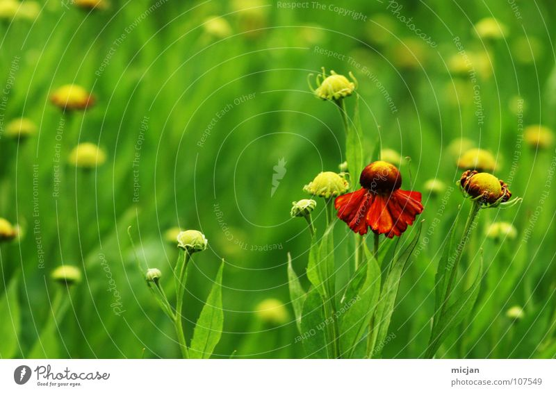Blümelein Blume Pflanze Wiese grün rot Blüte schön Freundlichkeit Wachstum Einsamkeit Vordergrund Wunder Sommer Frühling Korbblütengewächs Garten Park Natur