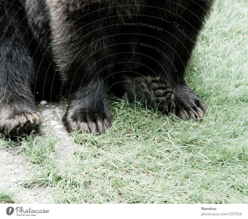 Erzähl mir ein Märchen Fuß Tier Wiese Fell Wildtier Krallen Pfote sitzen weich Kraft bequem Landraubtier gemütlich faulenzen Fleischfresser Säugetier Bär Petz