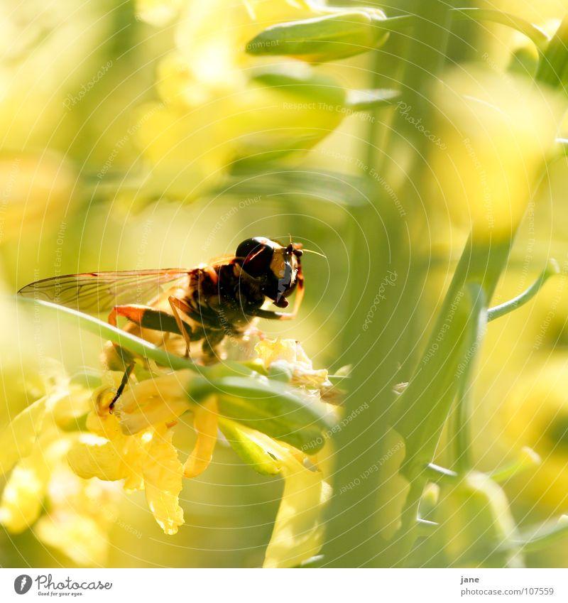achtung ... stillgestanden! Blume grün Pflanze Sommer Tier gelb Wiese Blüte Frühling Landschaft Fliege Insekt Sammlung Fühler Pollen Honig