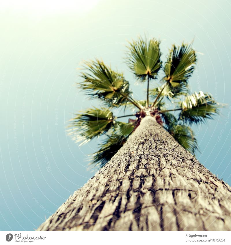 Palma Ferien & Urlaub & Reisen Tourismus Pflanze Baum exotisch Palme Palmenwedel Palmenstrand Palmenhaus Palmentapete Palmendach Urlaubsfoto Urlaubsstimmung