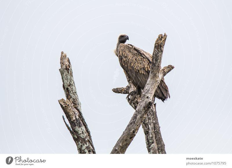 Unter Geiern #2 Vogel braun Afrika Südafrika Krüger Nationalpark Baumkrone Gedeckte Farben Textfreiraum links Tierporträt Blick nach hinten